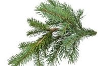 balsam fir feature1big